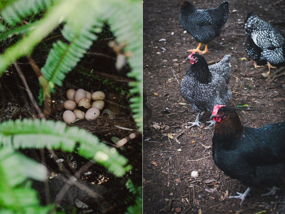 Chickens Laying Secret Eggs In Garden - Cook Republic